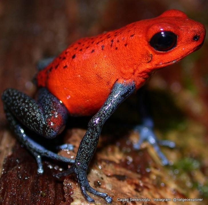 Kosta Rika Zehirli  Ok Kurbağası