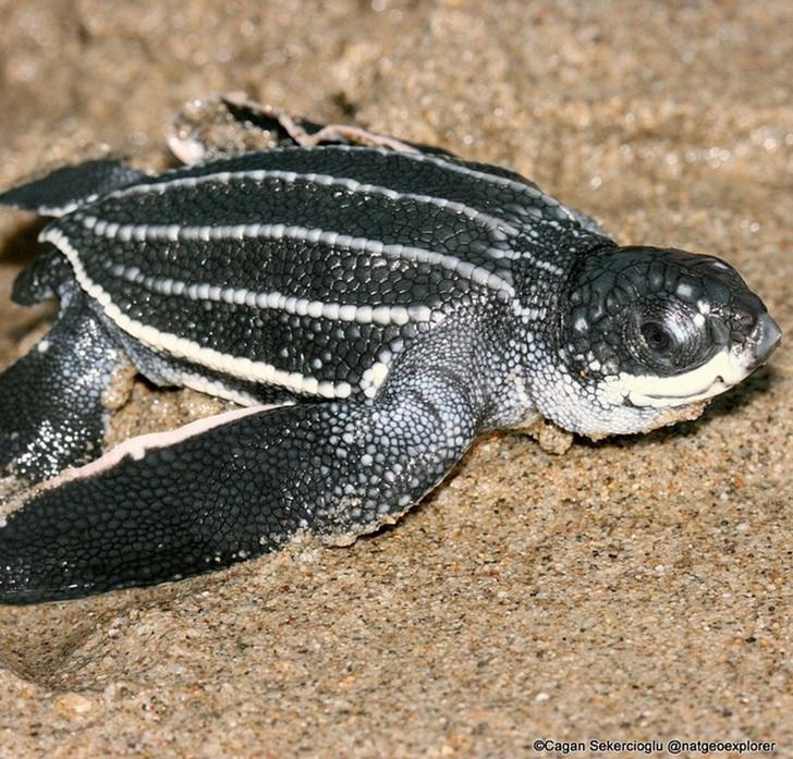 Deri Sırtlı Deniz Kaplumbağası
