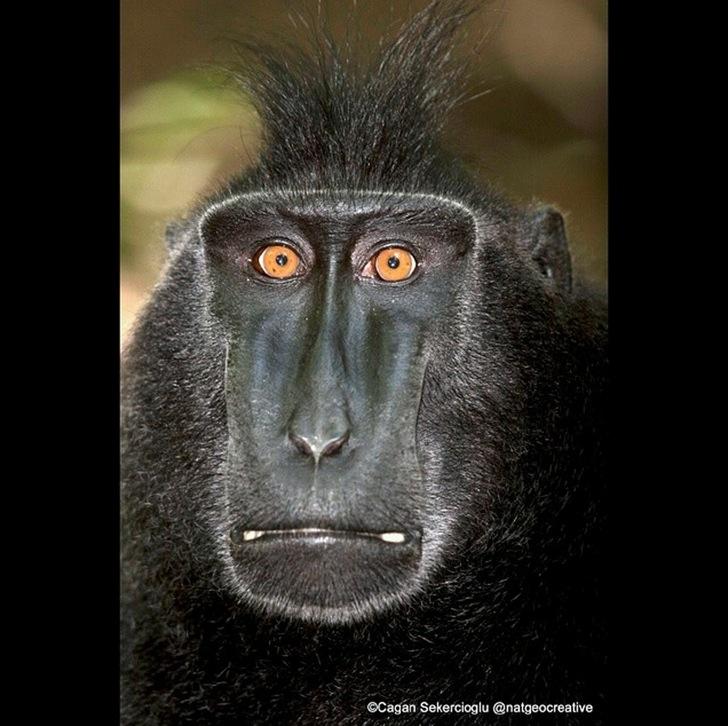 Endonezya Makak Maymunu