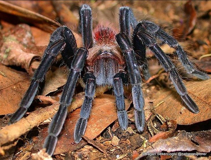 Tarantula Örümcek