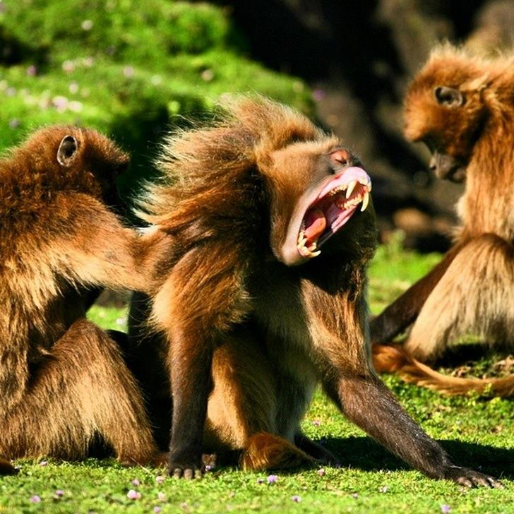Etiyopya Gelada Babunları