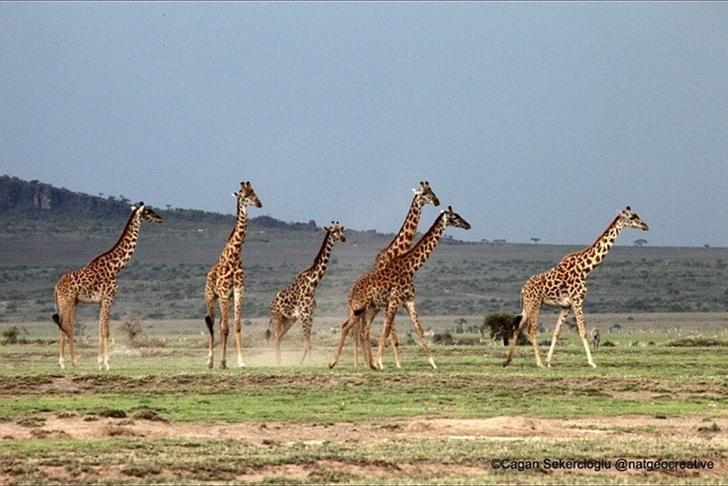 Tanzanya Zürafa Sürüsü