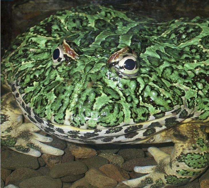 Desenli Boynuzlu Kurbağa