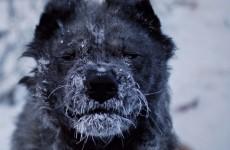 soğuk kar köpek