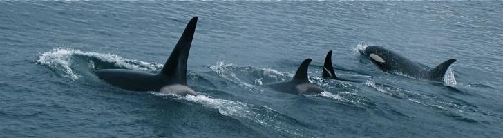 balina ailesi