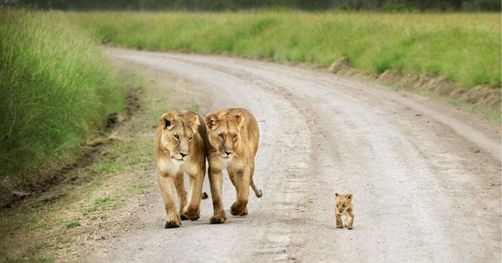 aslanlar ve yavruları