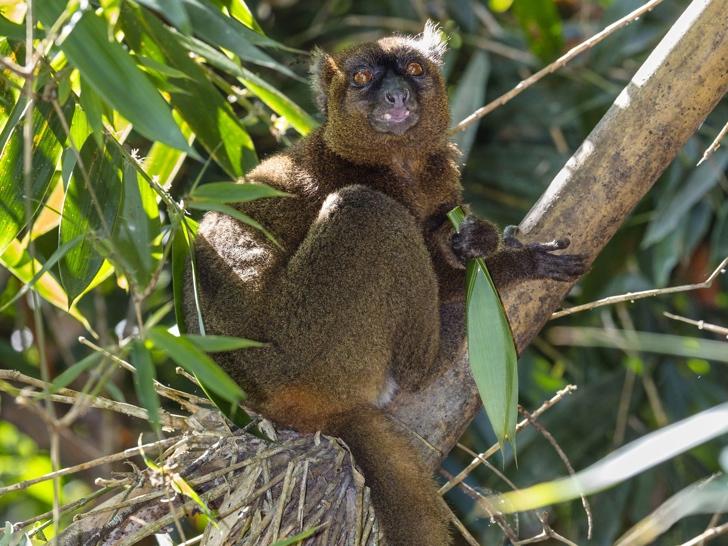 bambu lemuru nesli tükenen hayvanlar
