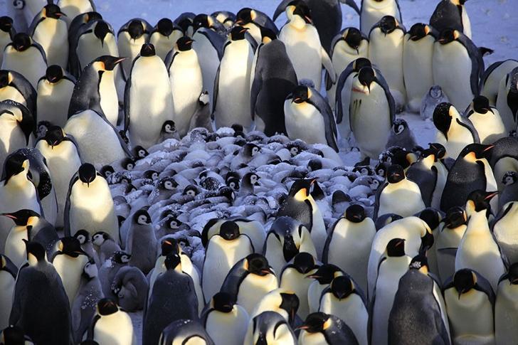 kral penguenler ve yavruları