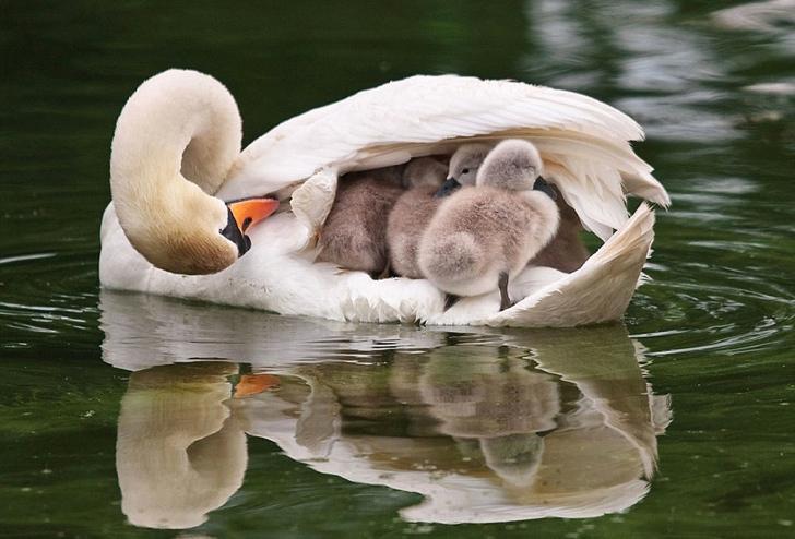 kuğu ve yavruları