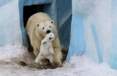 kutup ayısı ve yavrusu