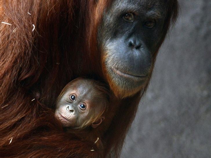 sumatra orangutanı nesli tükenen hayvanlar