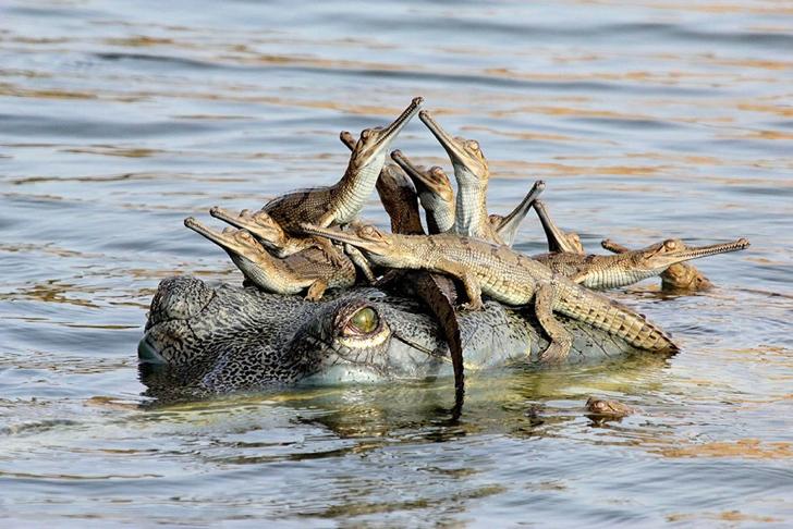 timsah ve yavruları
