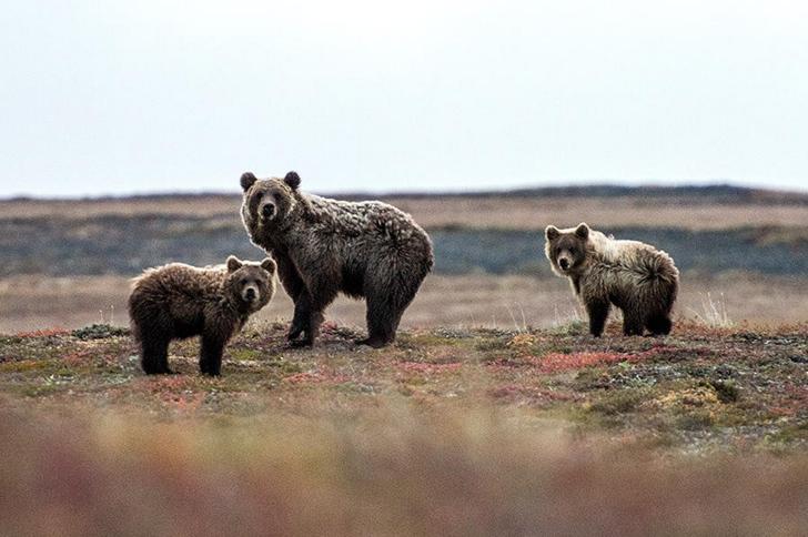 ayı fotoğrafları kutuplar tundra