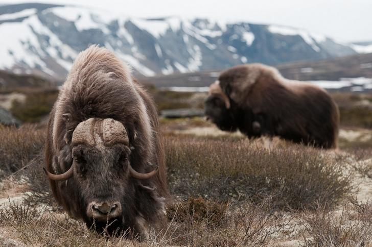 bizon-foto%C4%9Fraflar%C4%B1-kutuplar-tundra-.jpg