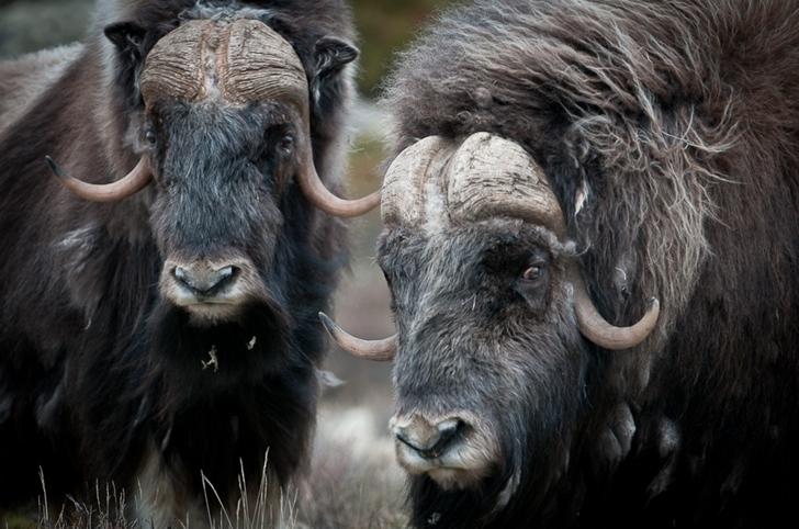 bizon fotoğrafları kutuplar tundra