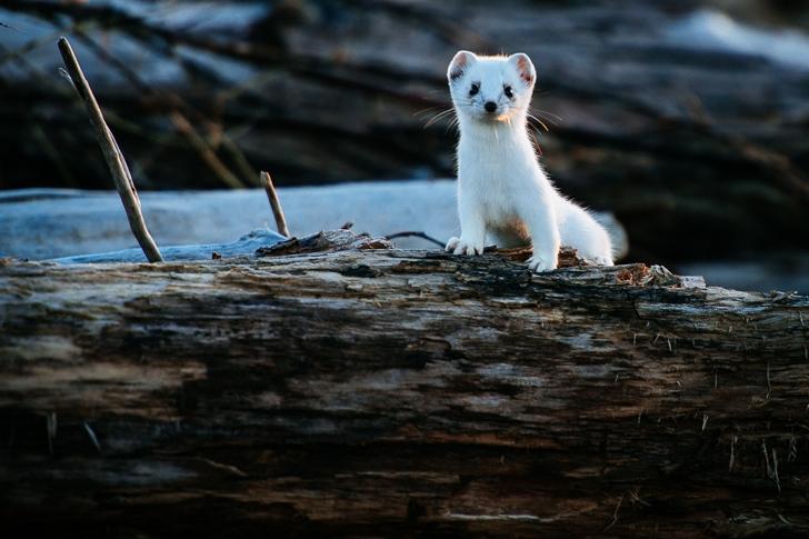 gelincik fotoğrafları kutuplar tundra