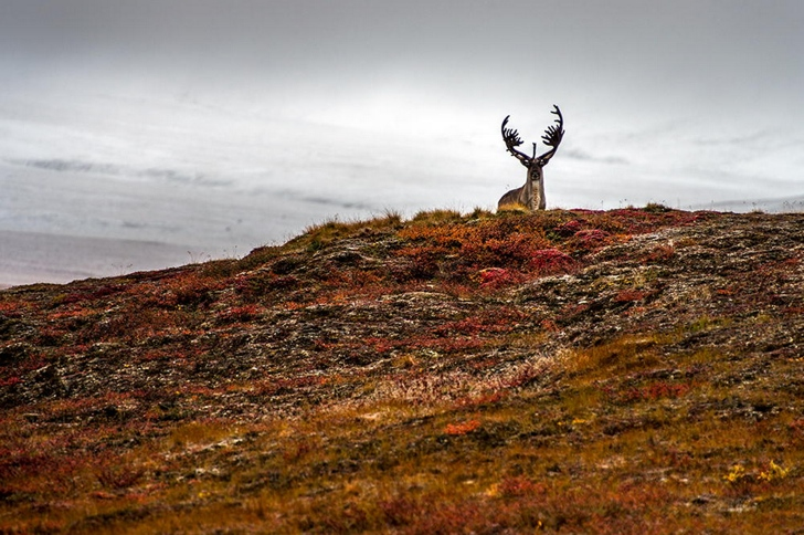 geyik fotoğrafları kutuplar tundra