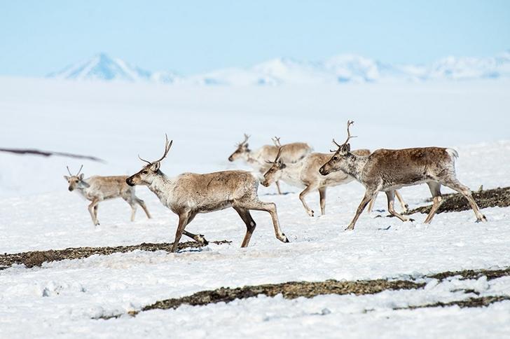 geyikler kutuplar tundra fotoğrafları