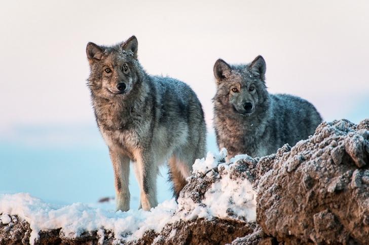 kurt fotoğrafları kutuplar tundra
