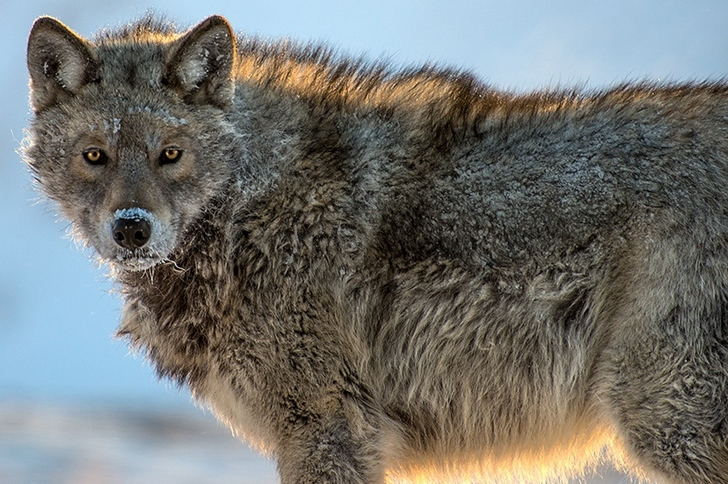 kurt kutuplar tundra fotoğrafları