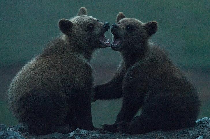 kutuplar tundra ayı fotoğrafları