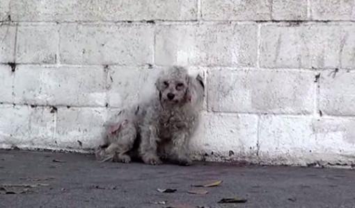 layla kurtarılan poodle cinsi köpek