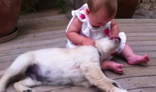8 aylık bebeği görünce çıldıran golden retriever