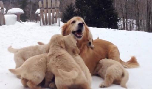 9 yavrusuyla karlar altında oynayan golden retriever