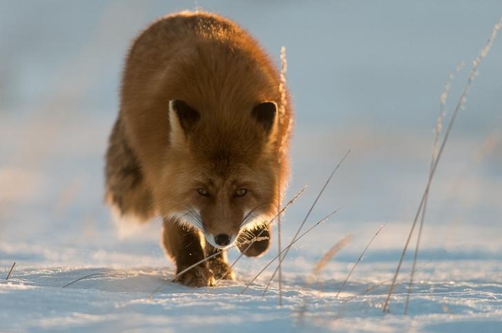 tilki fotoğrafları kutuplar tundra