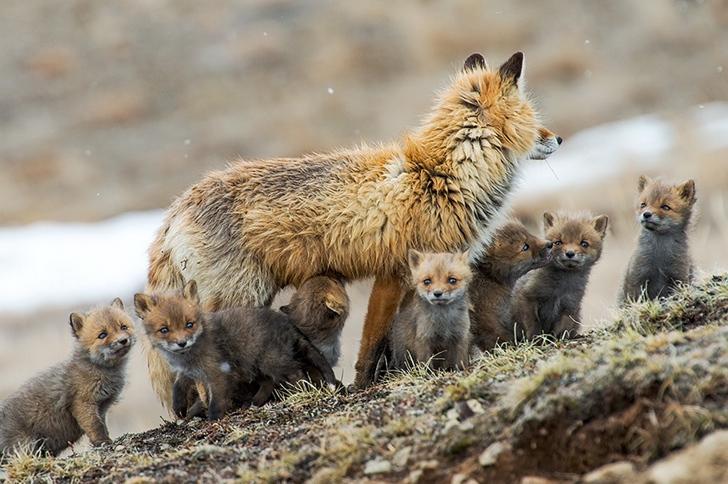 tilki yavruları fotoğrafı kutuplar tundra