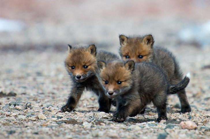 tilki yavruları fotoğrafları kutuplar tundra