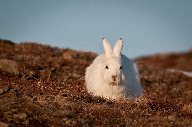 yaban tavşanı kutuplar tundra fotoğrafları