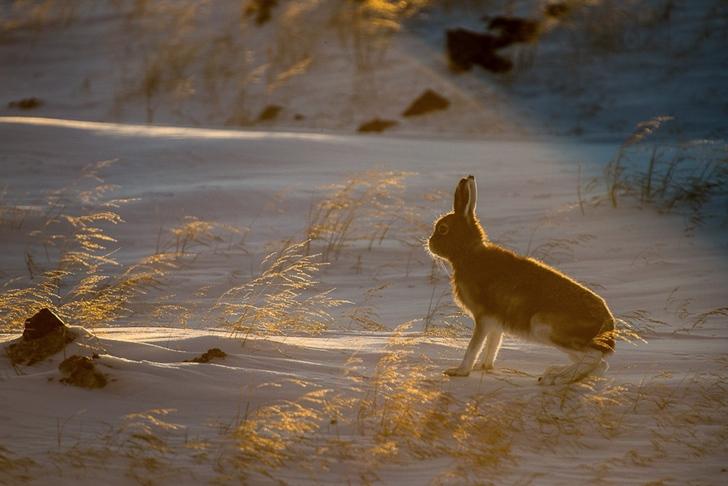 yaban tavşanı kutuplar tundra