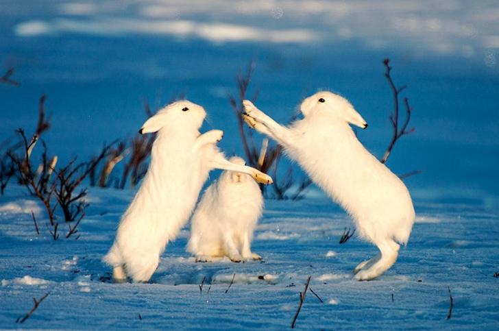 yabani tavşan fotoğrafları kutuplar tundra