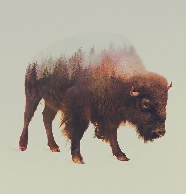 bizon fotoğrafı resmi