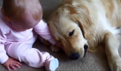 golden kopek ve bebek