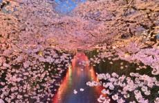 japonya kiraz bahçeleri