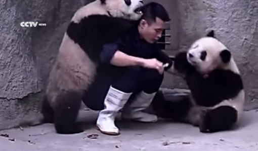 ilaç içmeyen pandalar ve bakıcıları