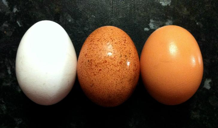 yumurta türleri kokoloji