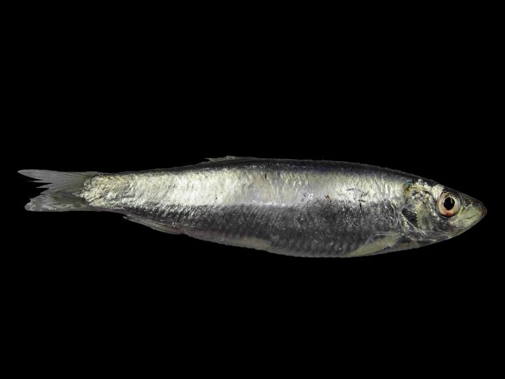 çaça balığı
