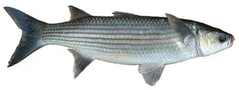 has kefal balık