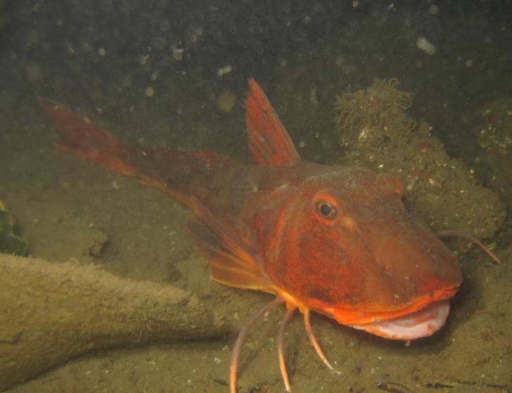 Kırlangıç Balığı - Trigla Lucerna & Trigla Hirunda