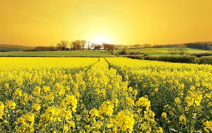 sarı çiçeklerle dolu bir tarla kokoloji