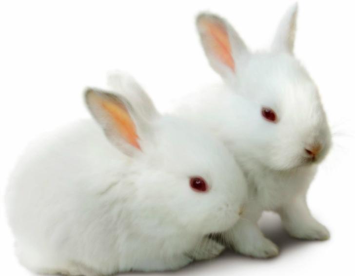 tavşan altın oran