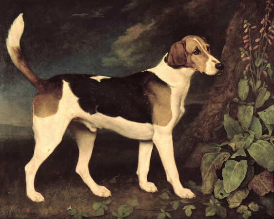 George Stubbs, Ringwood, A Brocklesby Foxhound