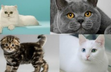 kedi turleri
