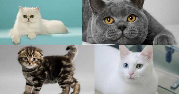 Onlar ne, İngiliz kedileri: renkler ve görünüş