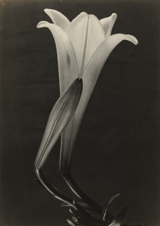 Tina Modotti, Easter Lily And Bud, 1925