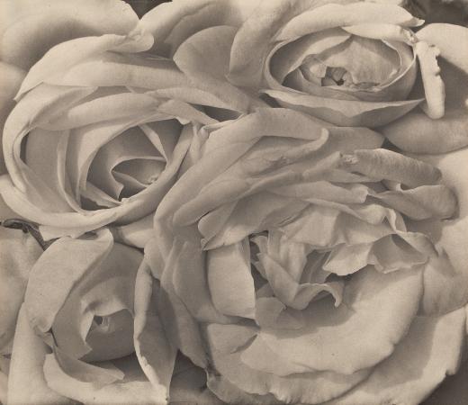 Tina Modotti, Roses, 1924