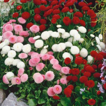 Çayır Güzeli Çiçeği